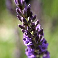 Amy's Lavender & Garden Produce