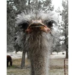 Central Oregon Ostrich