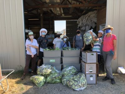 Gleaning event at a local farm